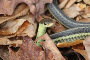Jessica Catherine Colby Garter Snake Vermont 04.26.15