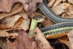Jessica Catherine Colby Garter Snake Vermont 04.26.15