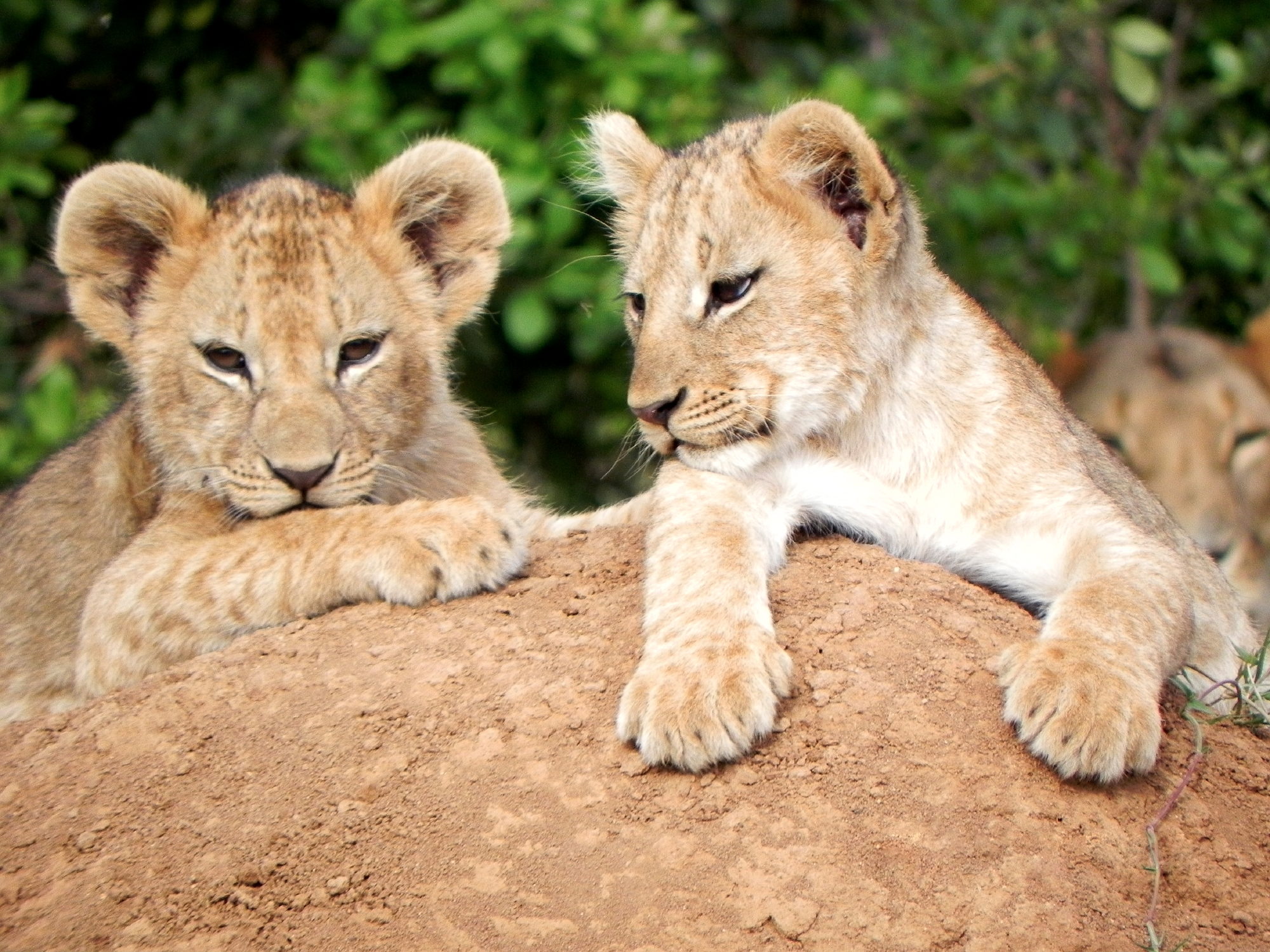 Learning to Live with Lions