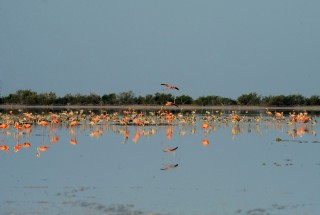 Salt is Essential to Life for Flamingos