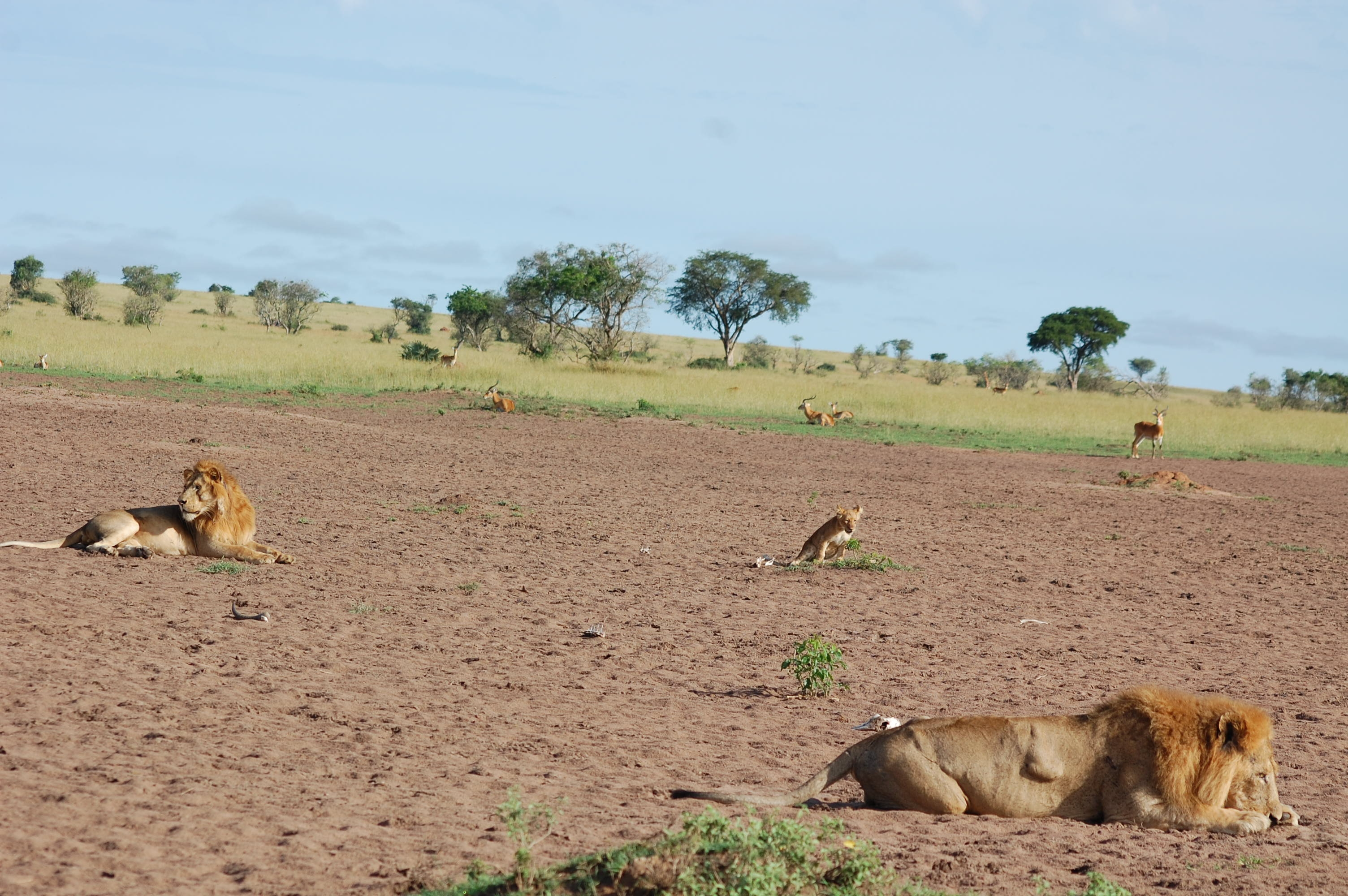 World Lion Day – Gathering of Animals