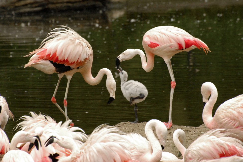 Think Pink – Flamingo Dads