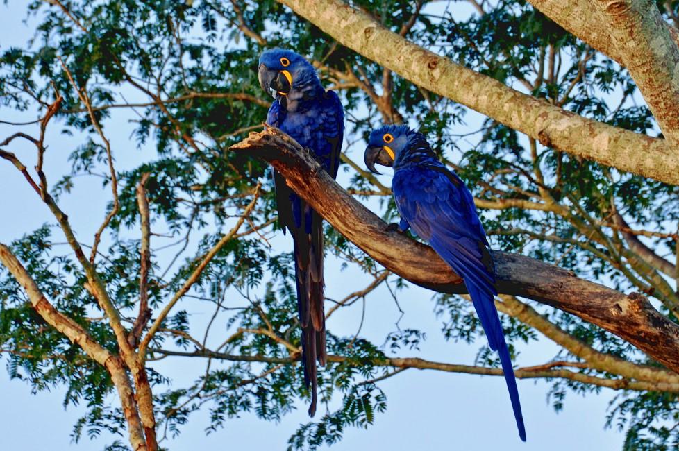 World's Largest Macaw