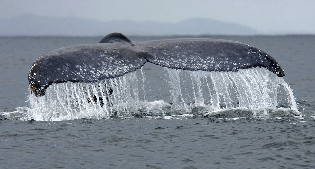 Panache of the Humpback Whale