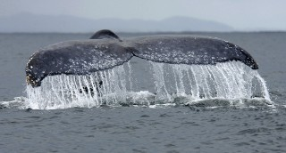 Panache of the Humpback Whale