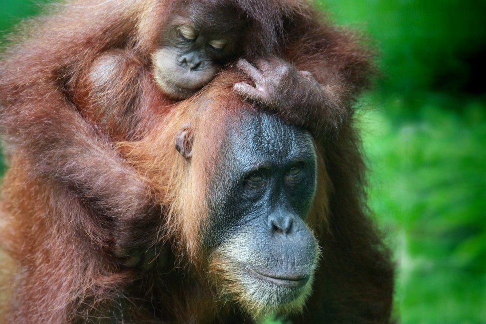 Sumatran Orangutans – Losing Their Forest Home