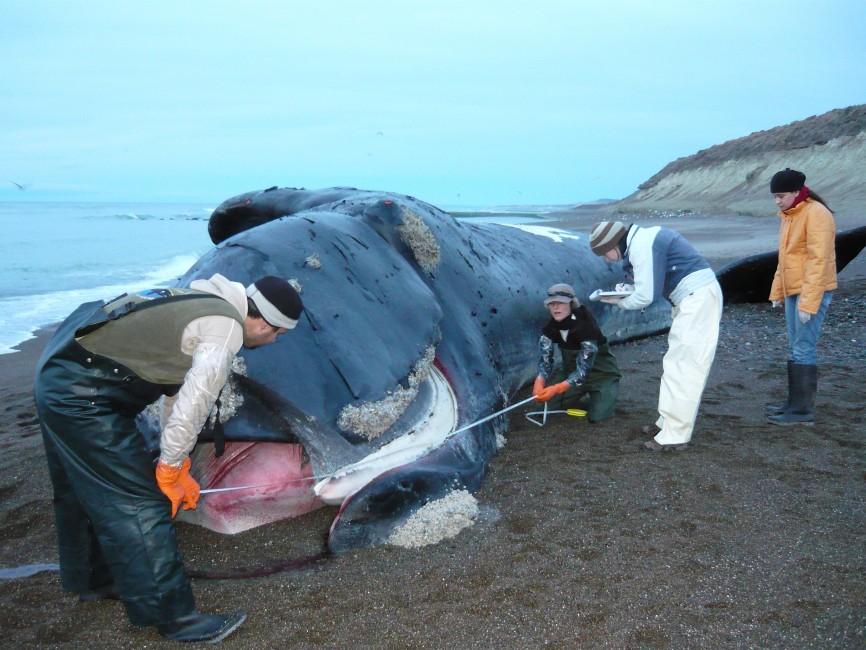 Veterinarians Investigate Whale Mortality