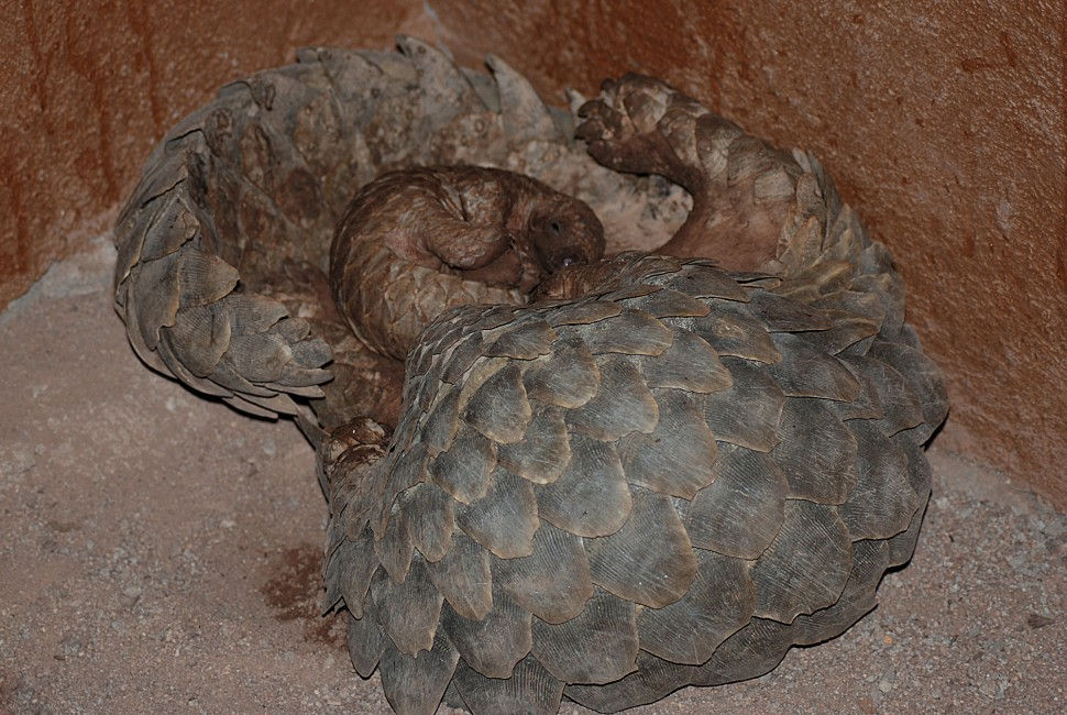 Pangolins: A Mother and Son