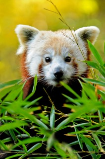 Red Pandas – Worth Watching in All Seasons