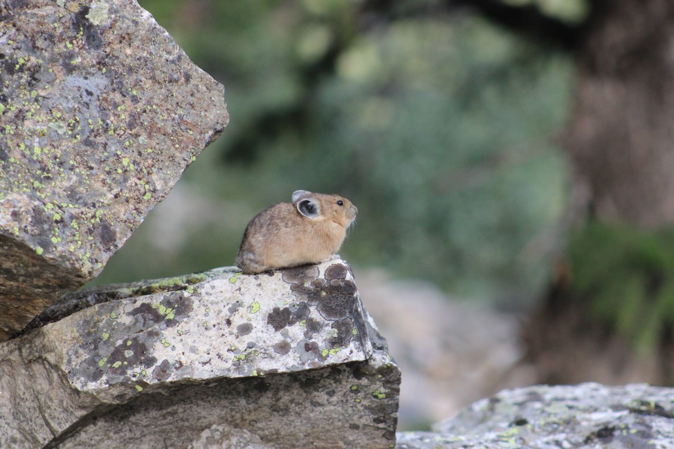 The Pika, A Symbol to Stop Global Warming