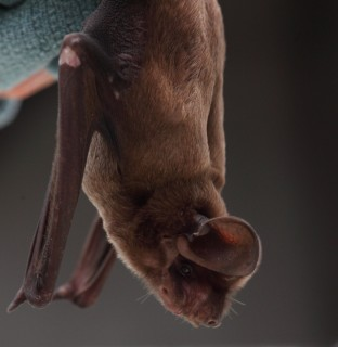A Rare Bat Gets a Second Chance