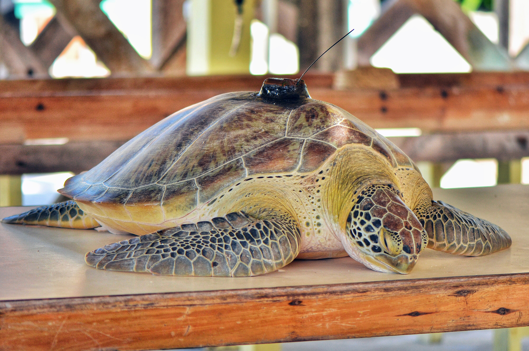 A Green Turtle that Knows How to Travel