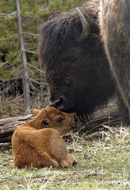 Second Century for Bison Conservation