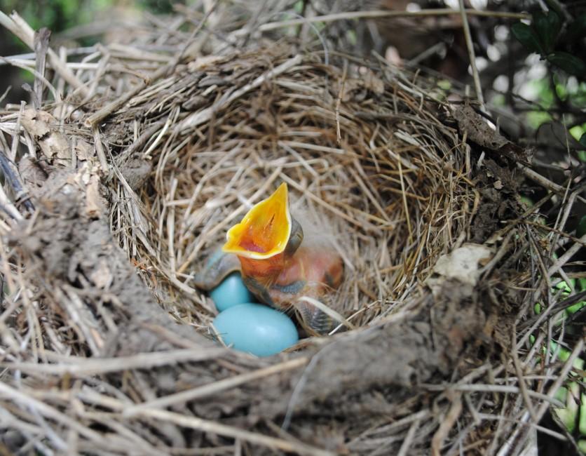 A Young Robin Waits