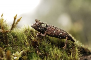 The Smallest Chameleon Species in the World