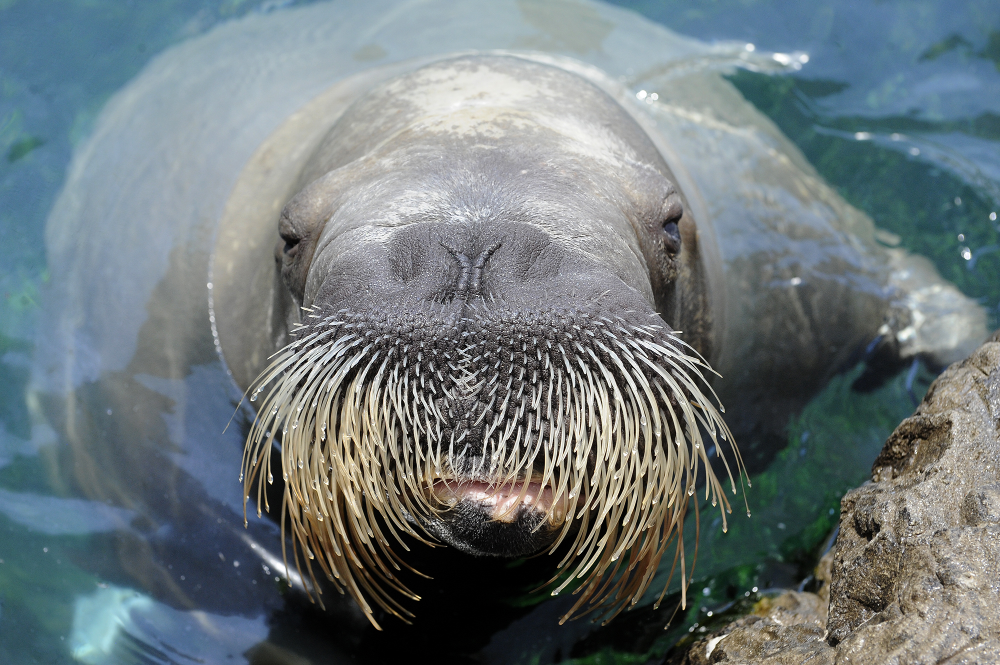 Movember Gone Wild: The Walrus