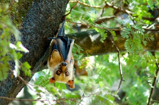 Flying Fox of the Forest