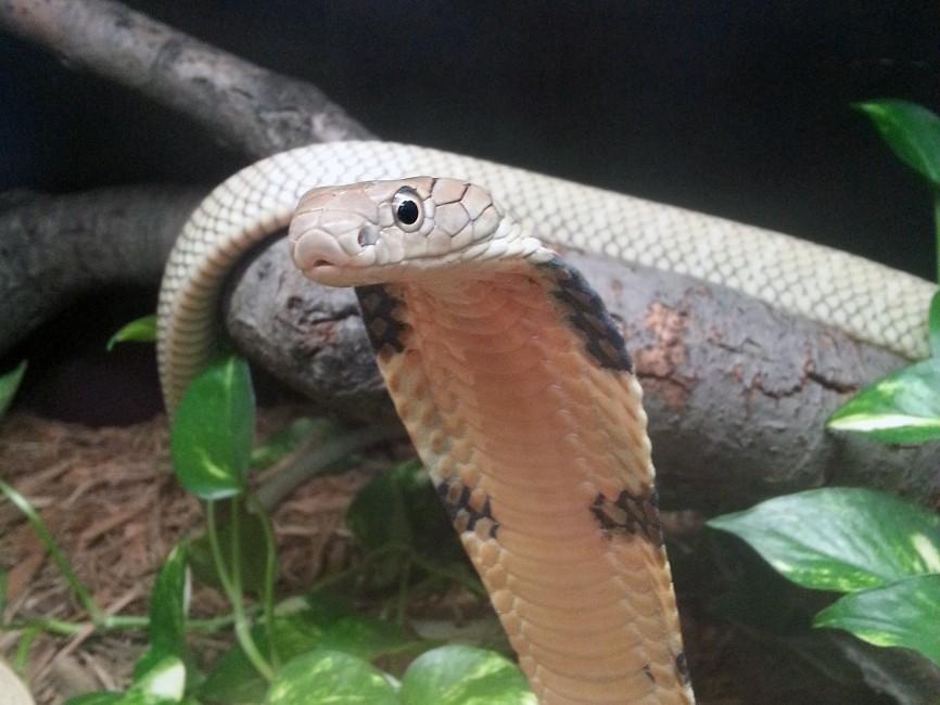 Celebrate Snakes – King Cobras