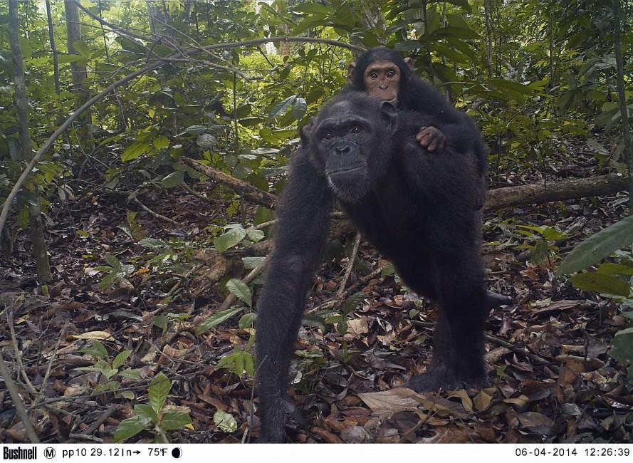 Baby Chimpanzee Piggyback
