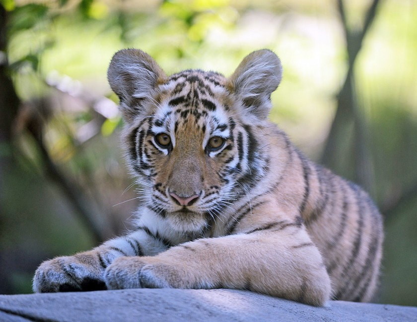 Tips on Tigers