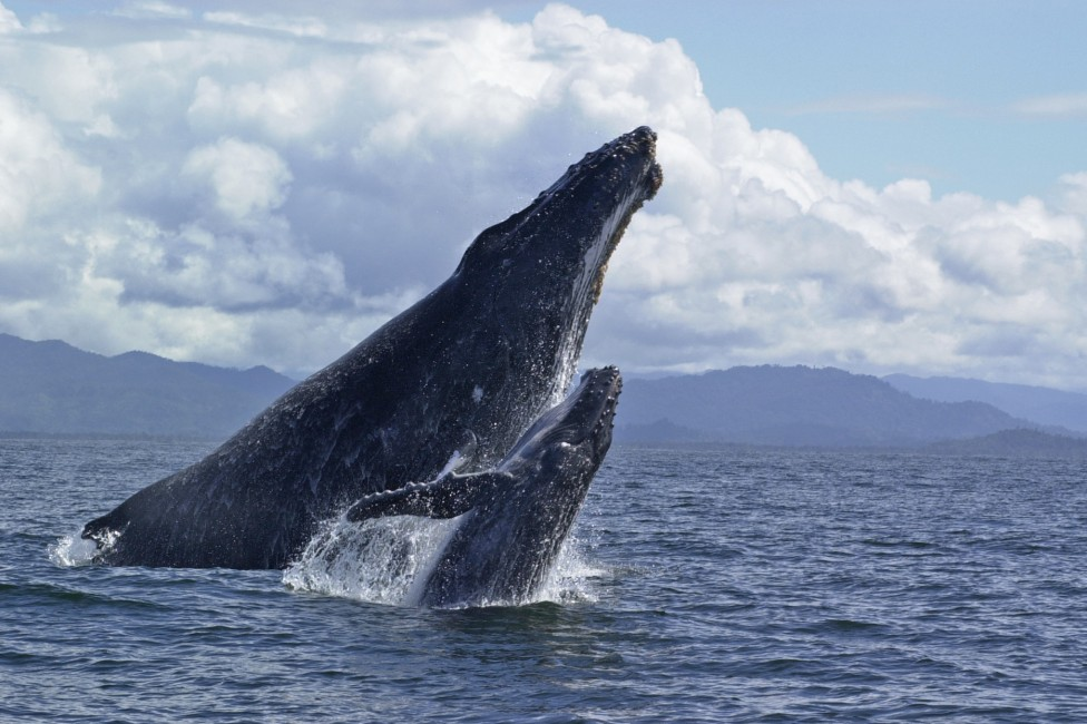 One Giant Leap – Humpback Whales