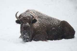 Brrringing Back the Bison