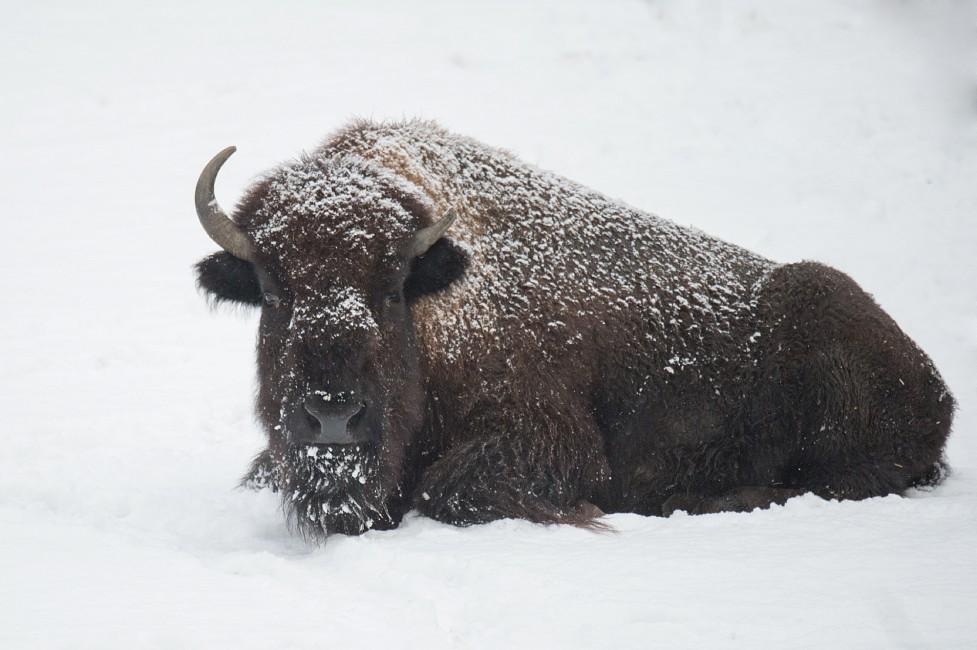Brrringing Back the Bison
