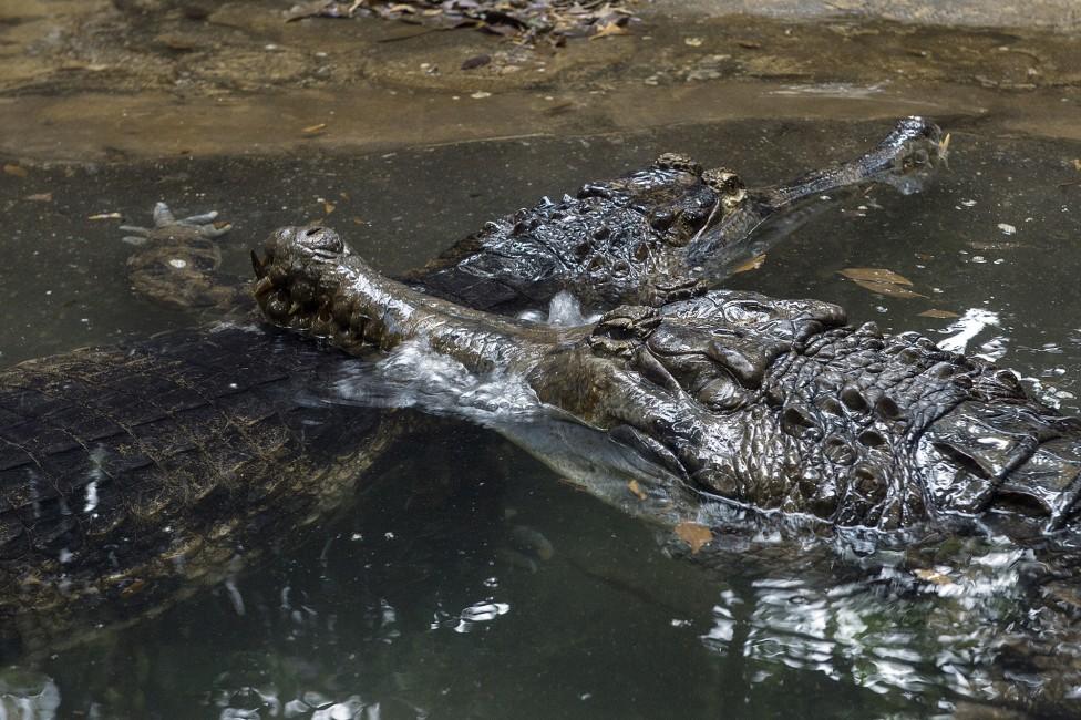 Crocodilian Courtship – Elvis and Priscilla