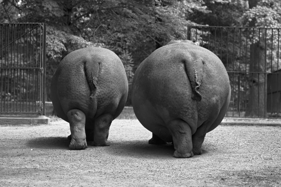 Looking Back at Hippos