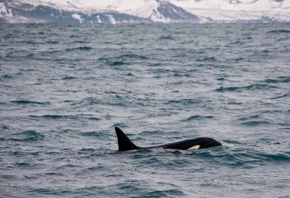 Icelandic Leviathans