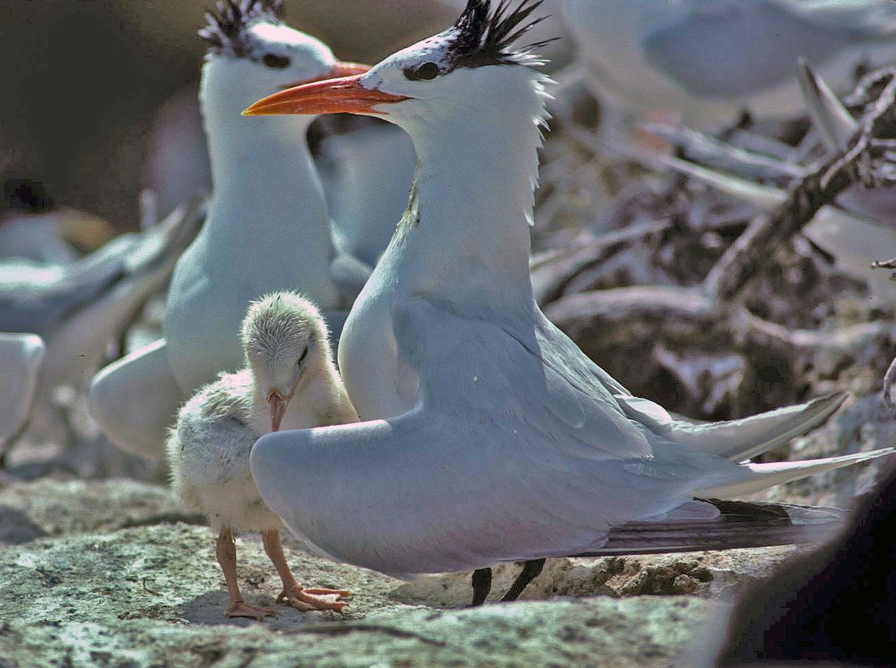 Magnificent Royal Terns