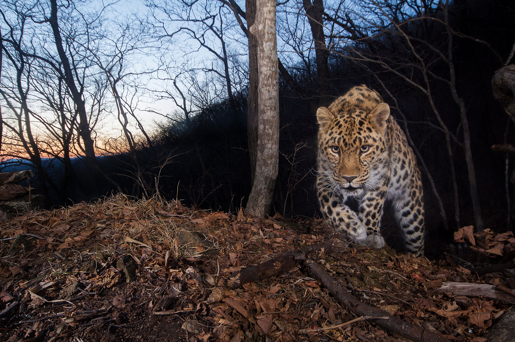 The Most Endangered Big Cat in the World