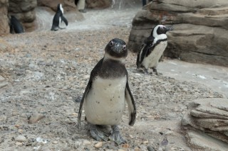 A Penguin in Danger of Extinction