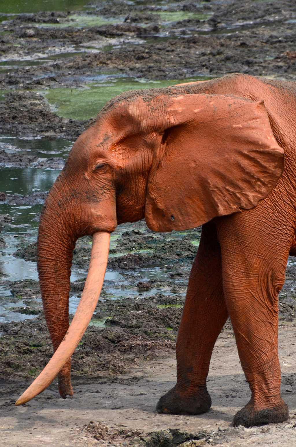 Pom, The Red Elephant