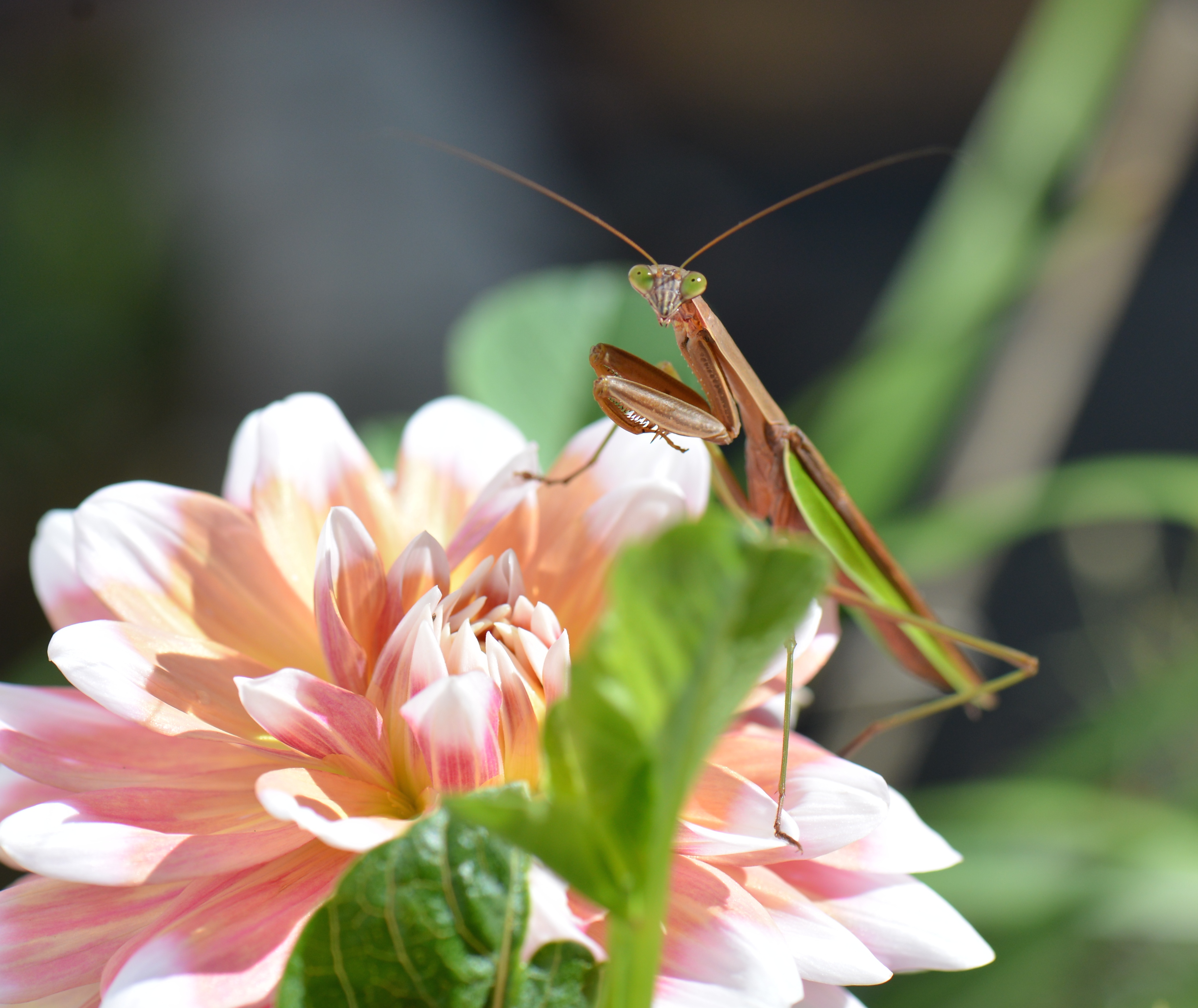 A Mantis That Inspired Martial Arts