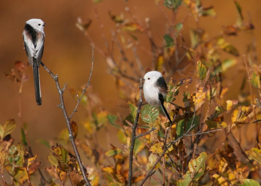 A Gentle Songbird