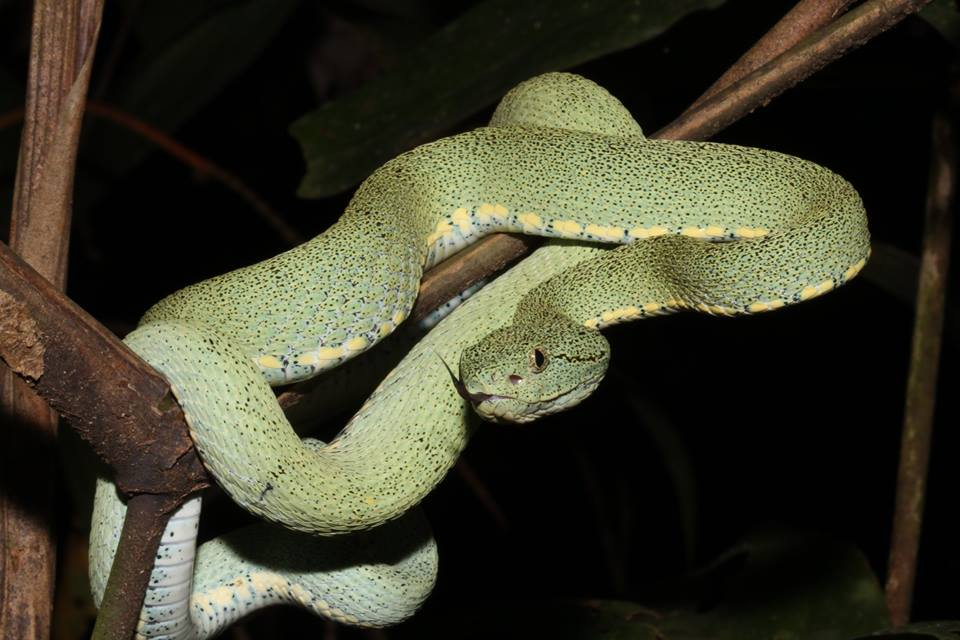 After Dark with a Pit Viper