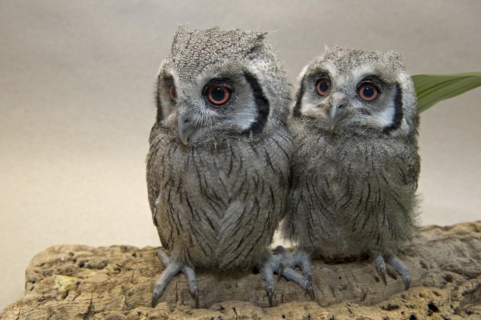 Transformer Owls – Scops Siblings