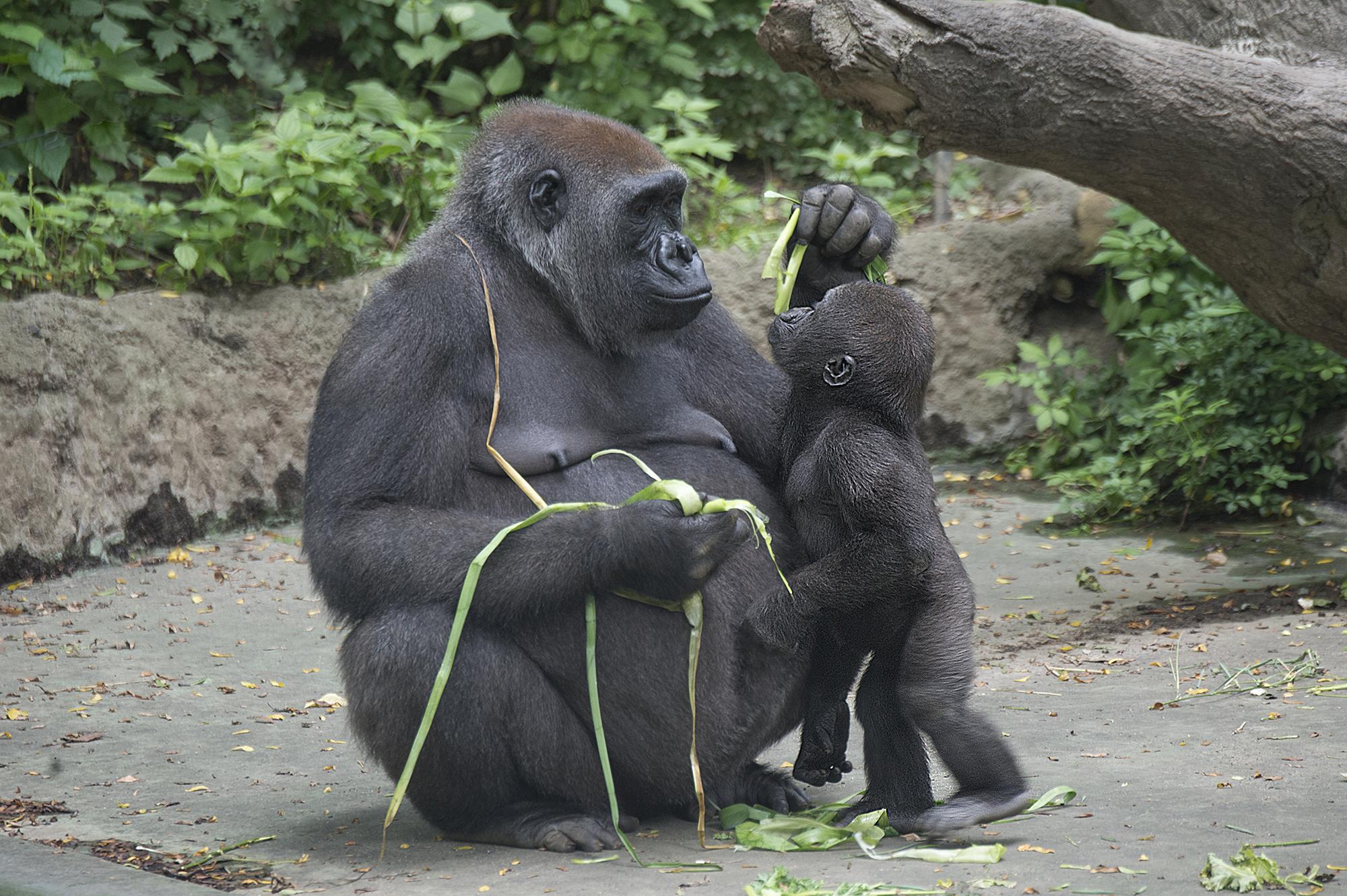 Green Garden for Gorillas