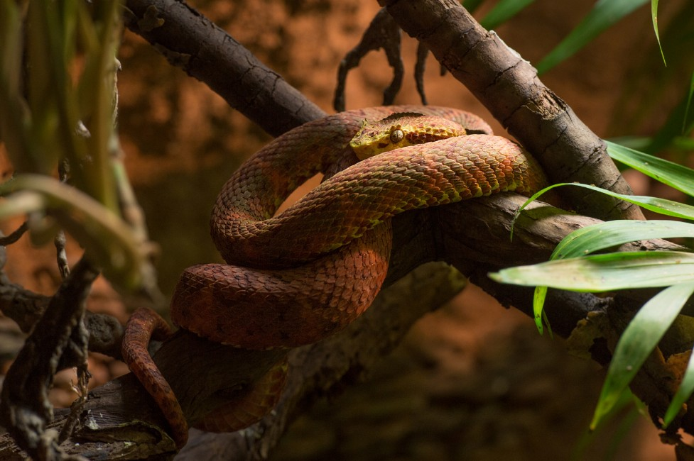 A Viper with Allure