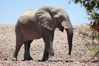 A Desert Elephant Encounter