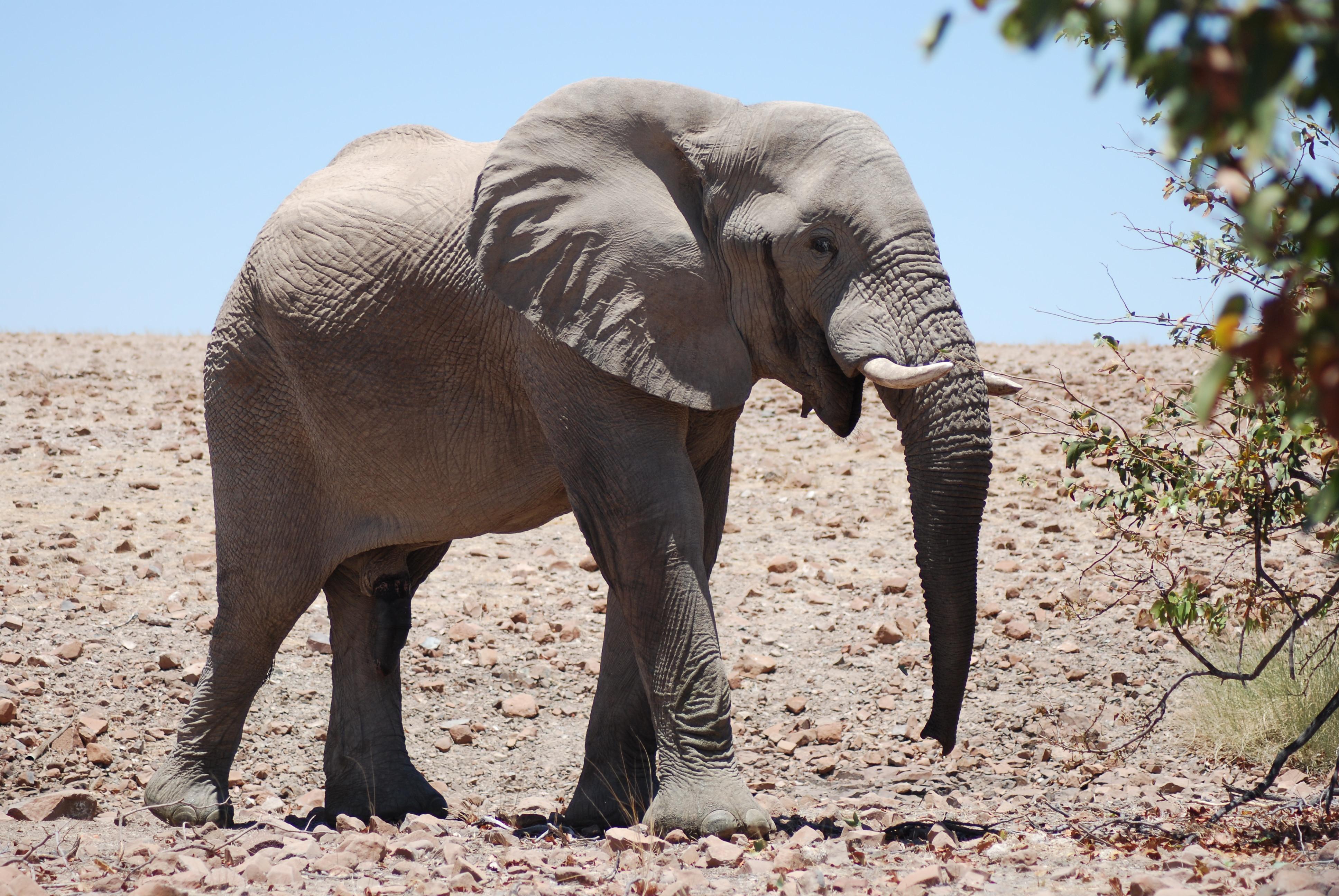 A Desert Elephant Encounter