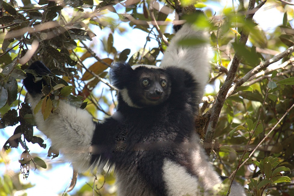 Madagascar's Singing Lemur