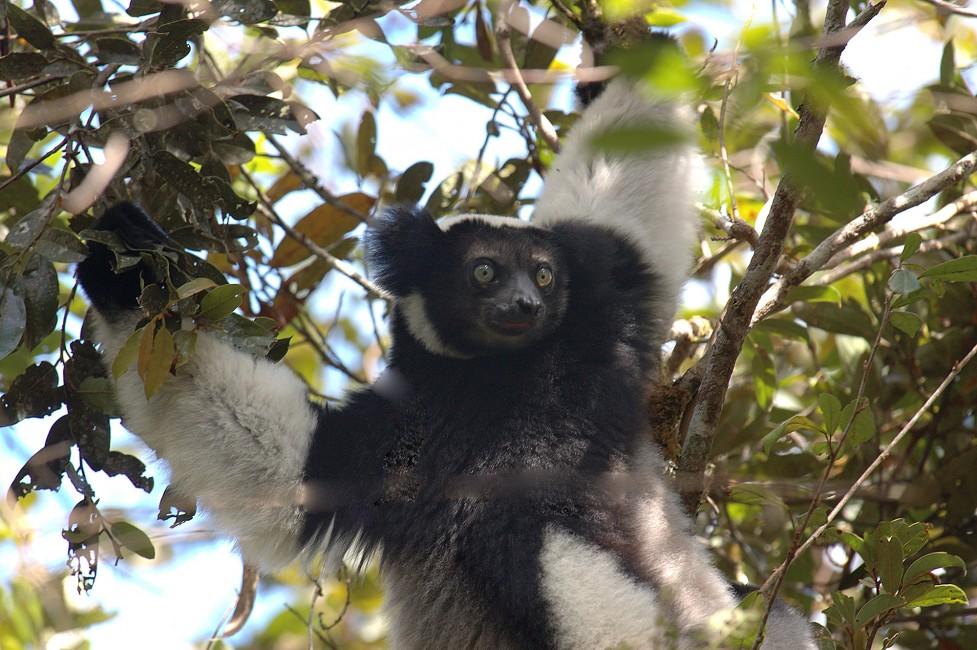 Madagascar's Singing Lemur