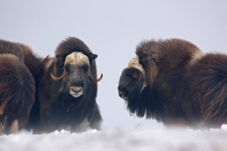 Muskoxen Are Still Here