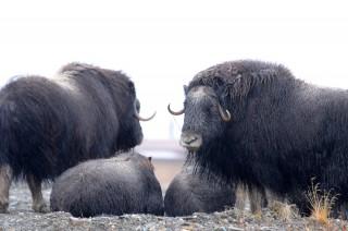 Quintessential Arctic Beast