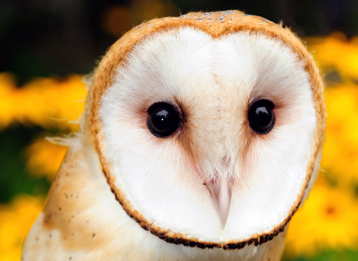 Bio-control Barn Owls