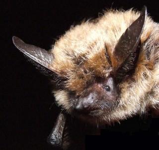 Bats at Risk
