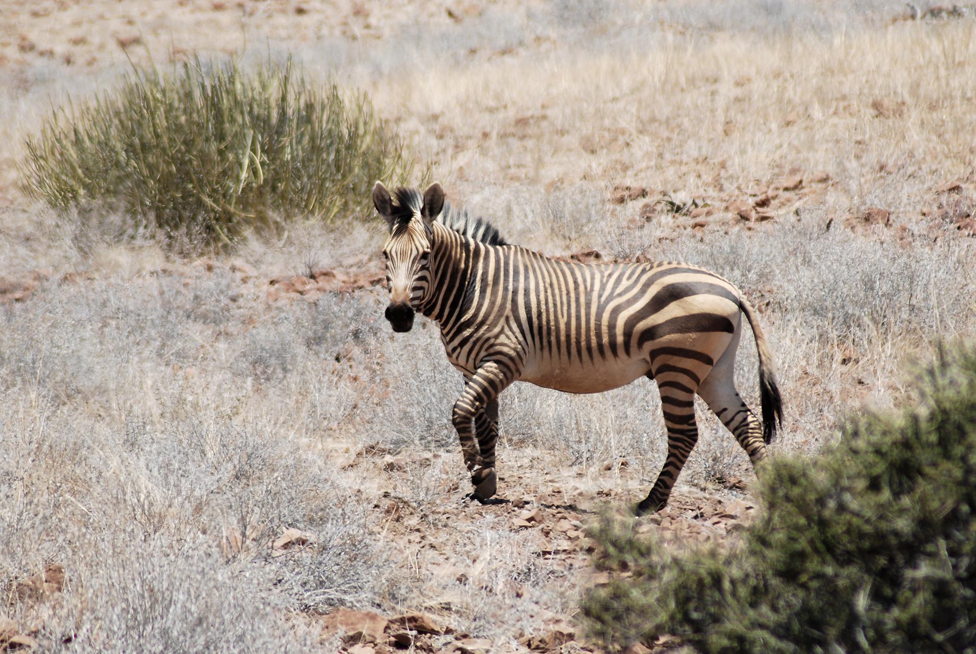 A Zebra of a Different Stripe