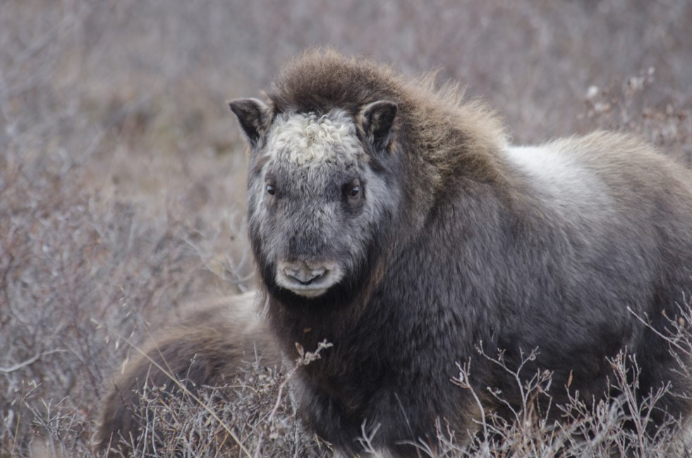 Winter is Coming – Muskoxen Baby